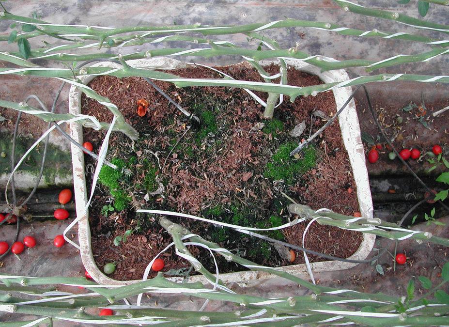 Ventajas del cultivo hidropónico en sustrato de fibra de coco
